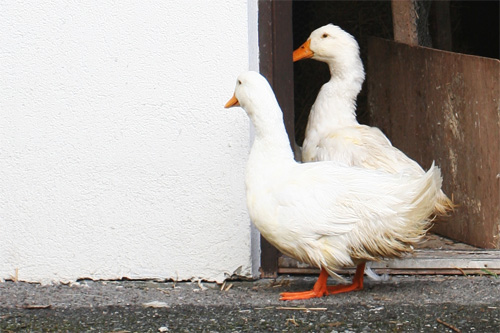 Welkom eenden Hans en Nel de Berghut Rauris pension groepsaccomodatie